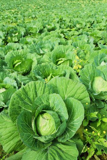 Full frame shot of fresh green plants in field