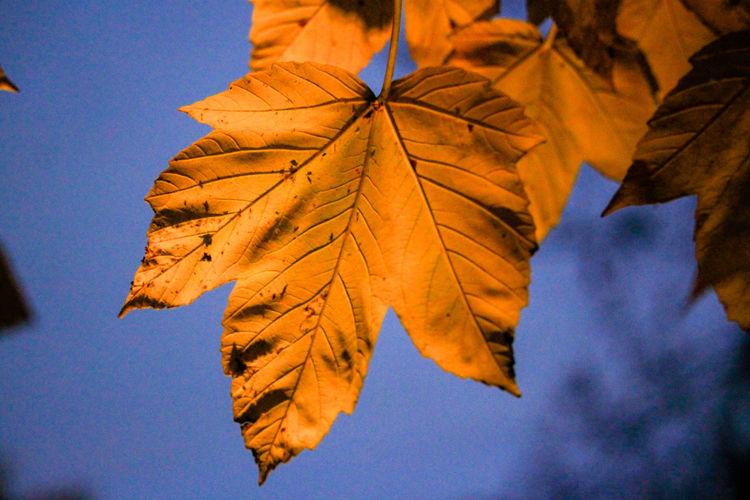 Autumn leaf Marijampolė Naturephotography Forest Photography Autumn Leaves Autumn colors Multi Colored Leaf Maple Autumn Blue Tree Branch Maple Leaf Change Sky Maple Tree Autumn Collection Leaves Fall Colored