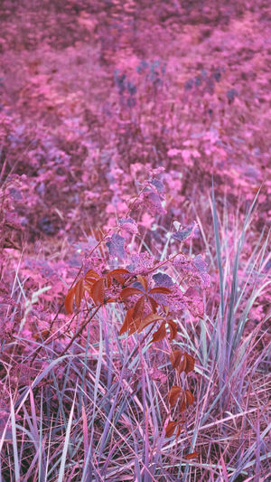 High angle view of pink flowering plants on field