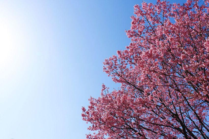 EyeEm Tokyo MeetUp 12 Sakura Sakura2016 Cherry Blossoms Sky Spring Urban Spring Fever EyeEm Nature Lover Vscocam VSCO