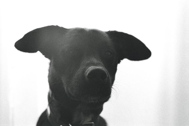 Analogue Photography Dogs Of EyeEm Animal Head  Animal Themes Black And White Black Dog Close-up Day Dog Dog Love Dogslife Domestic Animals Flair No People One Animal Pets Portrait Serious Dog White Background Pet Portraits