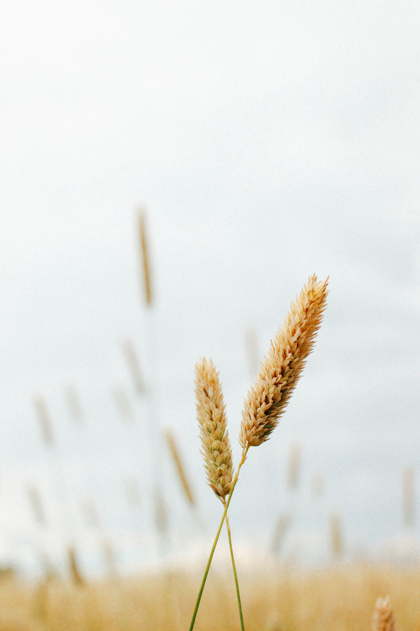 CLOSE-UP OF STALKS AGAINST SKY ON FIELD