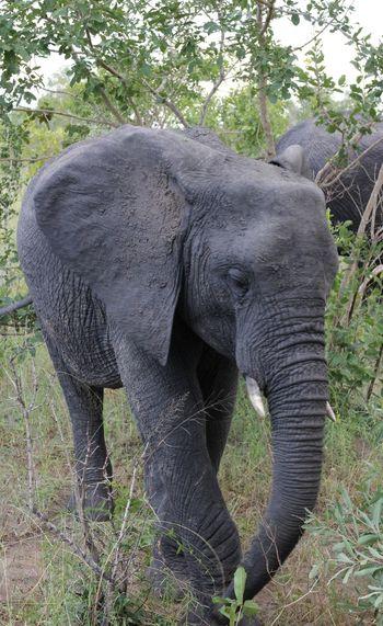 Close-up of elephant on field at kruger national park