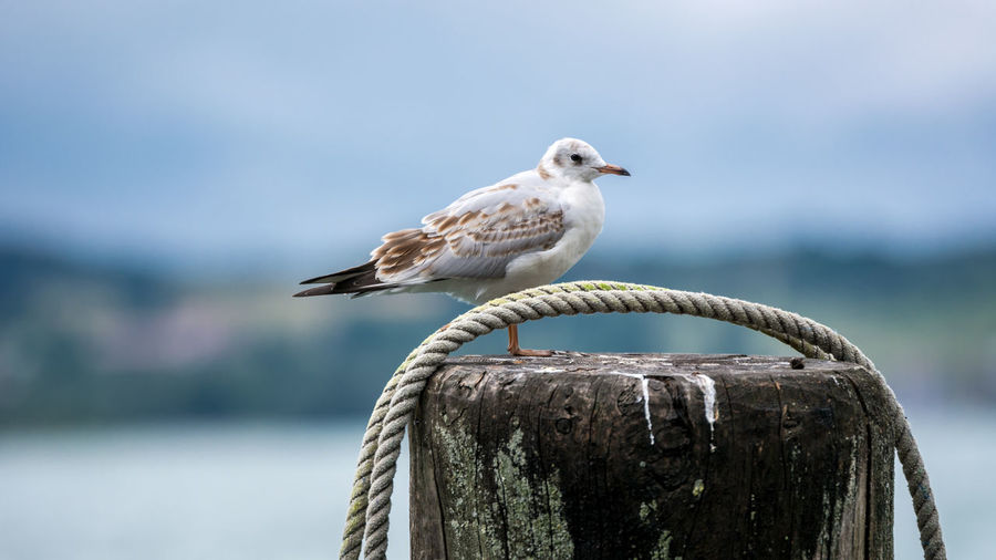 Seagull in Lake Constance (Bodensee) Animals In The Wild Baden-Württemberg  Beak Bird Depth Of Field Deutschland Flying Gaviota Germany Immenstaad Immenstaad Am Bodensee Lake Constance Möwe One Animal Seagull Selective Focus Wildlife Zoology