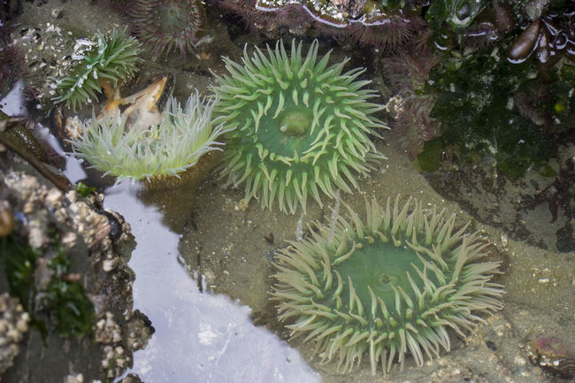 Giant Green Sea Anemones (Anthopleura Xanthogrammica ) and other marine life on rocks at low tide - Long Beach, Pacific Rim National Park, Vancouver Island, British Columbia, Canada Anthopleura Xanthogrammica Arthropod Beauty In Nature British Columbia Canada Crustacean Giant Green Green Sea Anemone Growth High Angle View Low Tide Mollusk Pacific Ocean Pacific Rim National Park Saltwater Sea Sea Anemone Sealife Seawater Tidal Tidal Basin Tidal Pool Vancouver Island Water