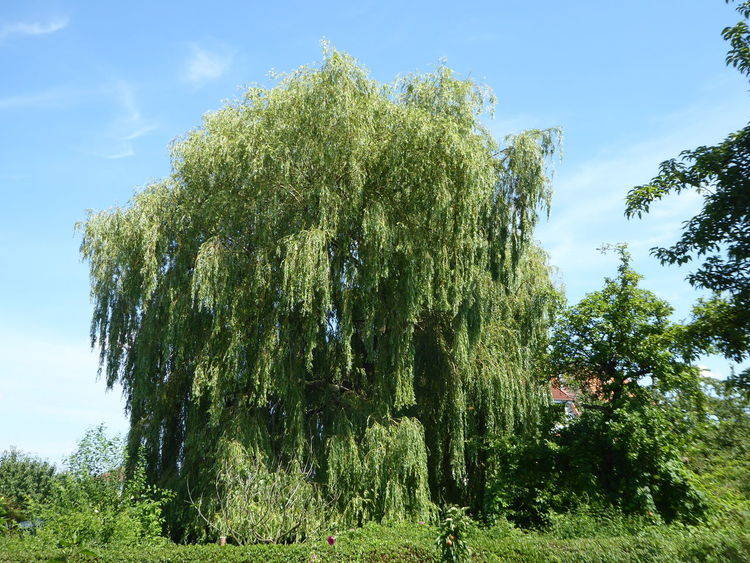 Trauerweide weeping willow Schrebergarten In Einem Kleingarten..selten Beauty In Nature Love That Trees Perfect Summerday With Friends Place To Feel Just Good Tranquil Scene For The Love To Life My Soul's Language Is📷 Thankful🦄 For My Friends 😍😘🎁 You Raise Me Up✨ ForTheLoveOfPhotography Perfect Beauty Summertime 🌞 Simple Beauty Tranquility Looking Up😍 Beauty In Nature Tree Trunk Near A Friends Garden