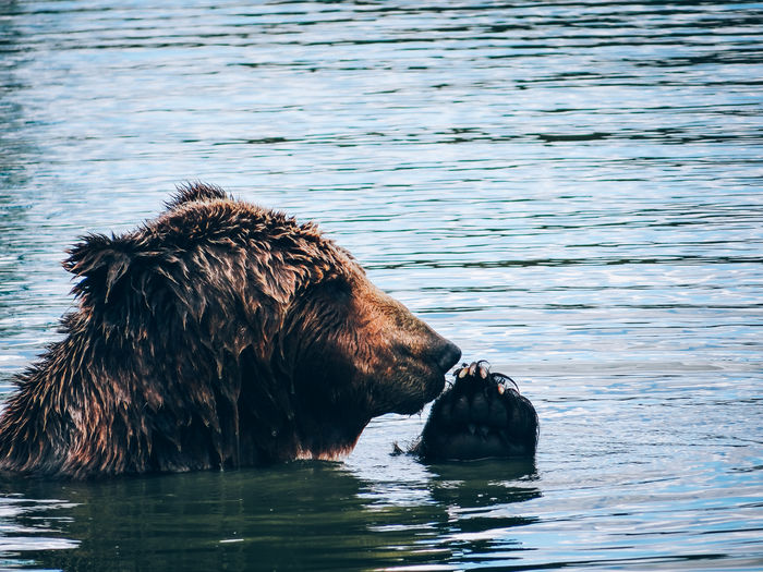 Bear Swimming In River