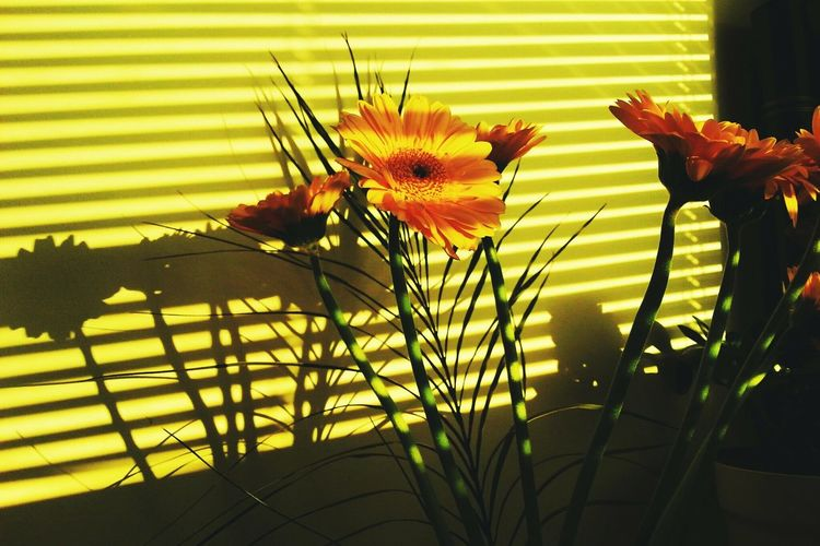 Flower Nature Plant No People Fragility Growth Freshness Day Close-up Beauty In Nature Flower Head Perching Light And Shadow Indoors  Paint The Town Yellow Yerberas