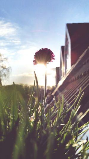 Grasnelke Nature Enjoying Life Blütenschönheit Beautiful Nature Blüte Spring Into Spring EyeEm Nature Lover Balkonglück Sunset