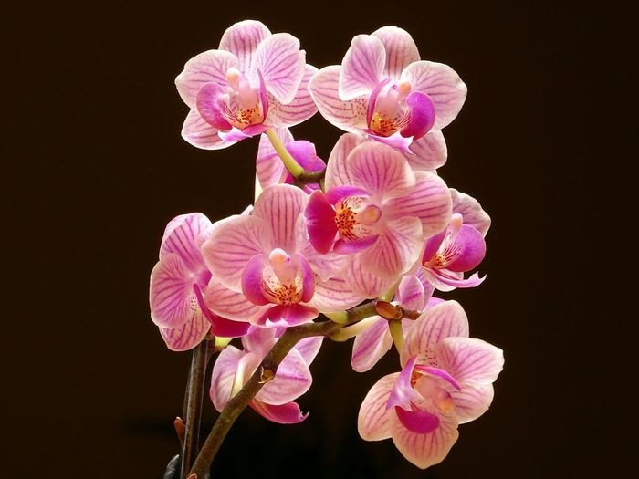 Orchidee Orchid