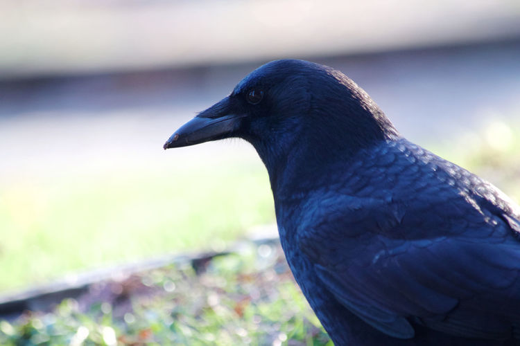 Bird Animal One Animal No People Close-up Beak Outdoors Side View Animal Head  Animals In The Wild Crow Looking Black Color