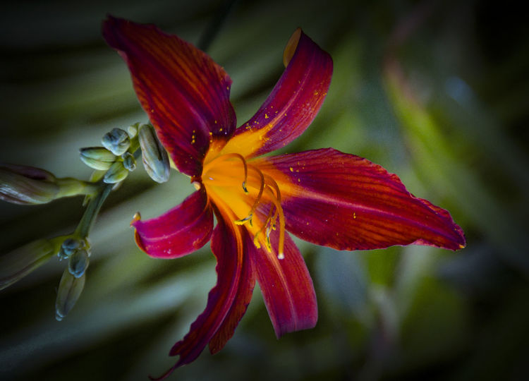 Beauty In Nature Blooming Botany Close-up Flaring Flower Flower Collection Flower Head Flowers Flowers, Nature And Beauty Freshness Garden Flowers Garden Photography Lilium Lily Nature Petals Pollen Red Flower Red Flowers Red Lily Springtime Stamen Stem Yellow Flower