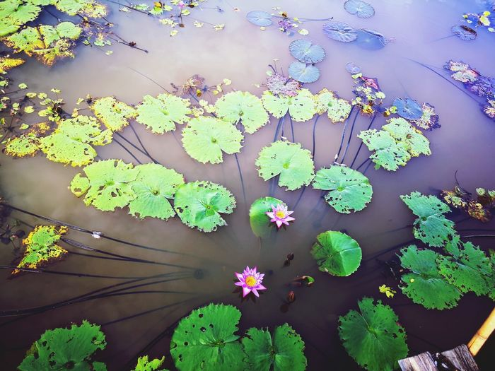 High angle view of flowering plant leaves floating on water