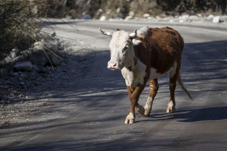 Bull win the Middle of the Road Brown Bull Cow Domestic Animals Hooves Horn Middle Road Rural Street Walk White