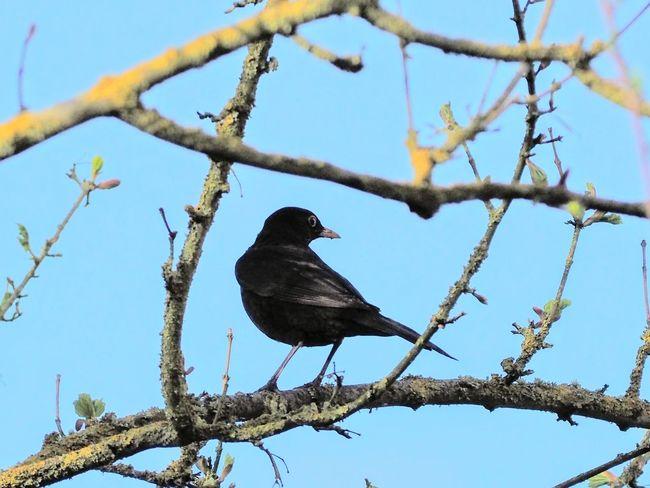 Westburywildlife Bird Perching Tree Branch Sky Blackbird Songbird  First Eyeem Photo