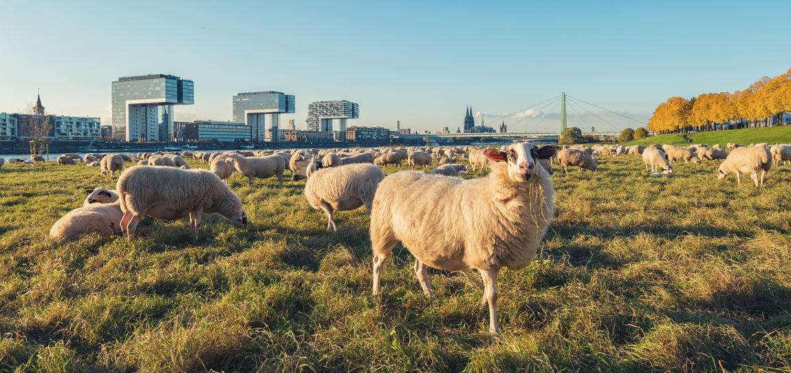 group of sheep at the rhine shore in Cologne, germany Agriculture Autumn City Cologne Field Grass Rhine Severinsbrücke Traveling Tree Animal Cologne Cathedral Crane Crane Houses Domestic Animals Gernany Herd Meadow Northrhein Westfalia Rheinauhafen River Sheep Sheeps Shore Travel Destinations
