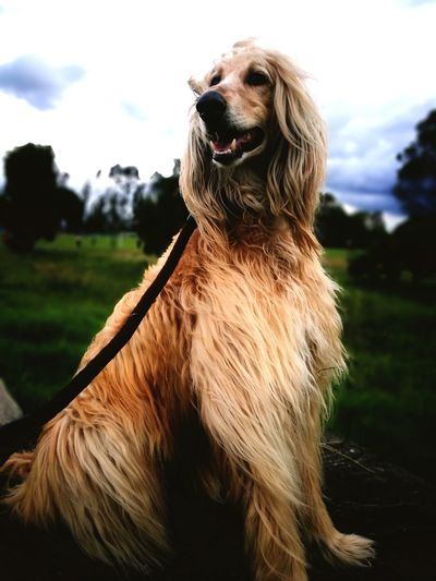 the wind Afghan Afghan Hound Colombia Hair Hairstyle Happiness Pets Tree Dog Portrait Sky Close-up Grass Golden Retriever Panting Canine Purebred Dog Sticking Out Tongue