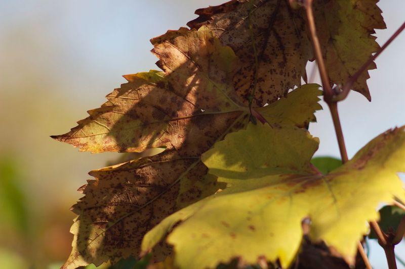 Vine leaf Plant