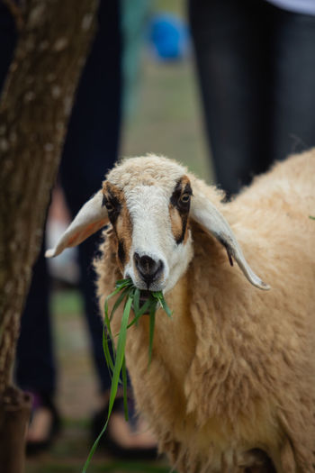 Close-up portrait of sheep grazing outdoors