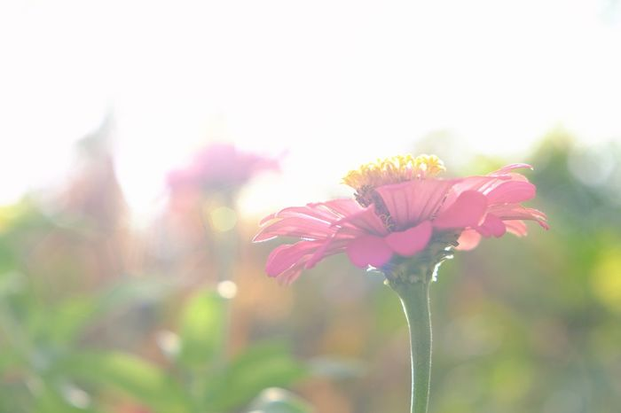 Flower Freshness Pink Color Nature Outdoors Plant Day Focus On Foreground Flower Head Growth Zinnias, Flowers Zinnia Elegans Flowers Lens Flare Sun Lens Flare Soft Image Morning