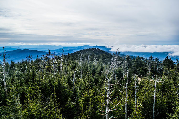 Pine trees in forest against cloudy sky