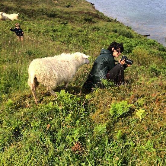 Focus Norway Sheep