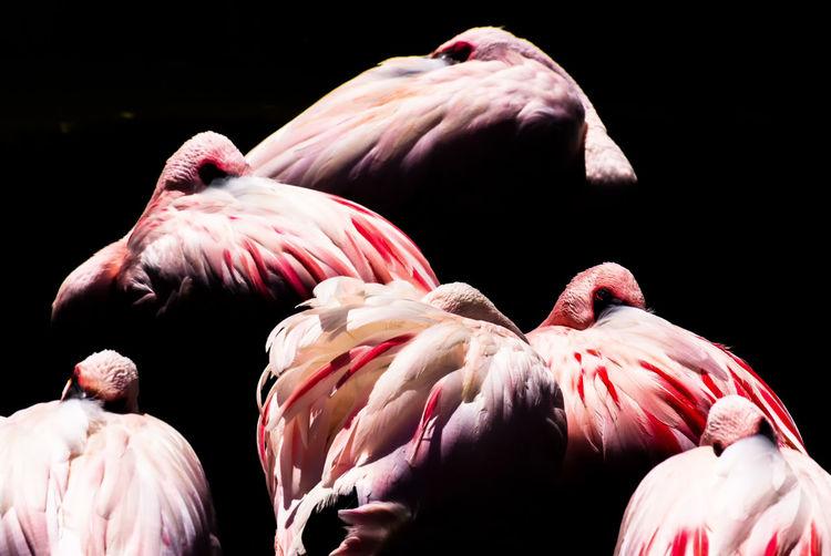 Close-up of flamingos against black background