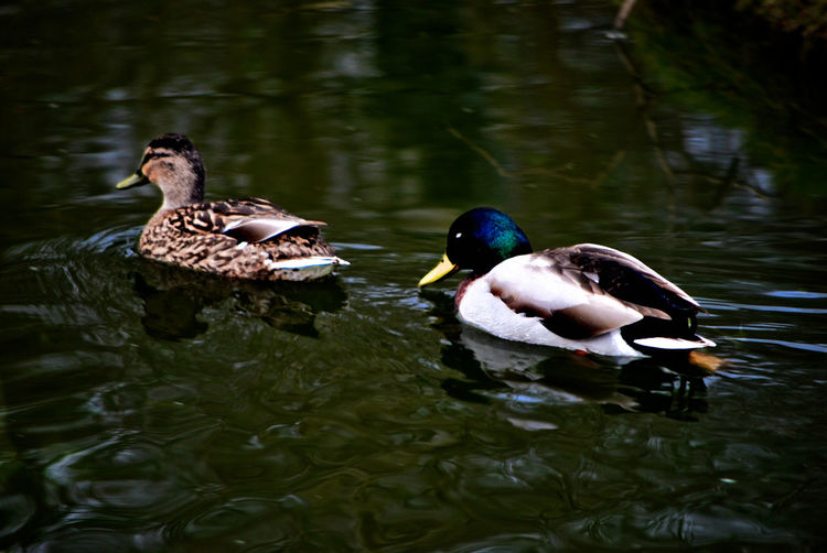Close-up of mallard ducks swimming in lake