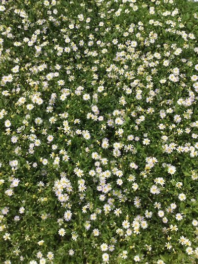 Plant Flowering Plant Flower Growth Nature Freshness Green Color Day No People Beauty In Nature Full Frame High Angle View Field Backgrounds White Color Land Fragility Abundance Outdoors Vulnerability