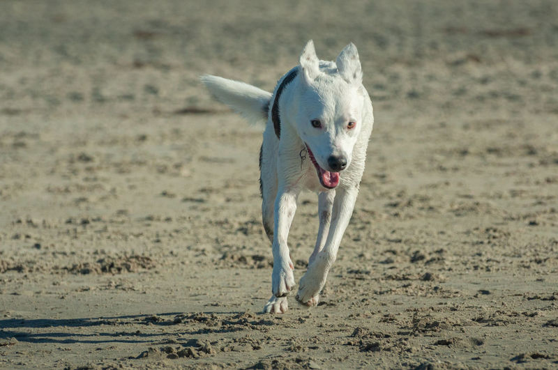 Animal Animal Themes One Animal Mammal Domestic Domestic Animals Pets Land Canine Dog Vertebrate No People Motion Focus On Foreground Day Full Length Nature Running Portrait on the move Mouth Open Aggression  Animal Mouth