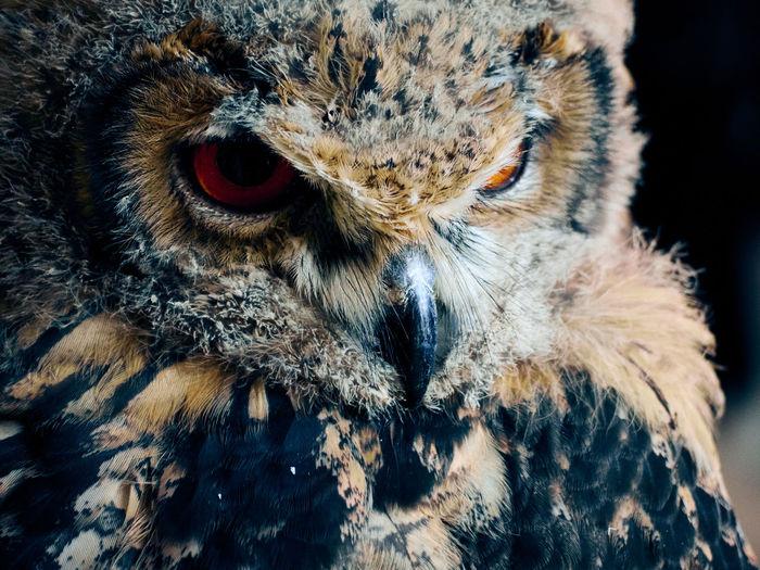 Owl portrait Beak Looking At Camera Manresa Raptor SPAIN Animal Themes Animal Wildlife Animals In The Wild Bird Bird Of Prey Close-up Day Eye Feather  Feather  Looking At Camera Nature No People One Animal Outdoors Owl Portrait