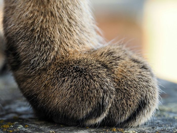 Paw Cat Savannah Wanda Macro 60mm