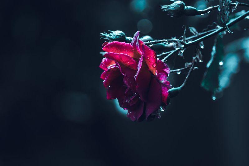 Rose in