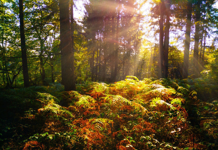 Beauty In Nature Change Day Environment Forest Green Color Growth Land Lens Flare Nature No People Non-urban Scene Outdoors Plant Rainforest Scenics - Nature Sunbeam Sunlight Tranquil Scene Tranquility Tree Tree Trunk WoodLand