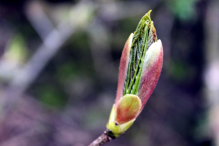 Bud Leaf New Growth Showcase April In My Garden Tree Spring Springtime No People Countryside Hedgerow