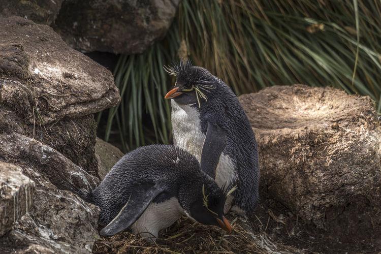 View of rockhopper penguin on rock