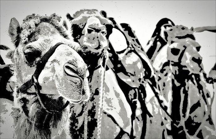 The Three Camels... Where are the Three Kings? ;)) NEM Black&white Camels We Love Camels! Black And White EyeEm Nature Lover Blackandwhite EyeEm Best Edits Eye4photography  EyeEm Best Shots Black And White Collection