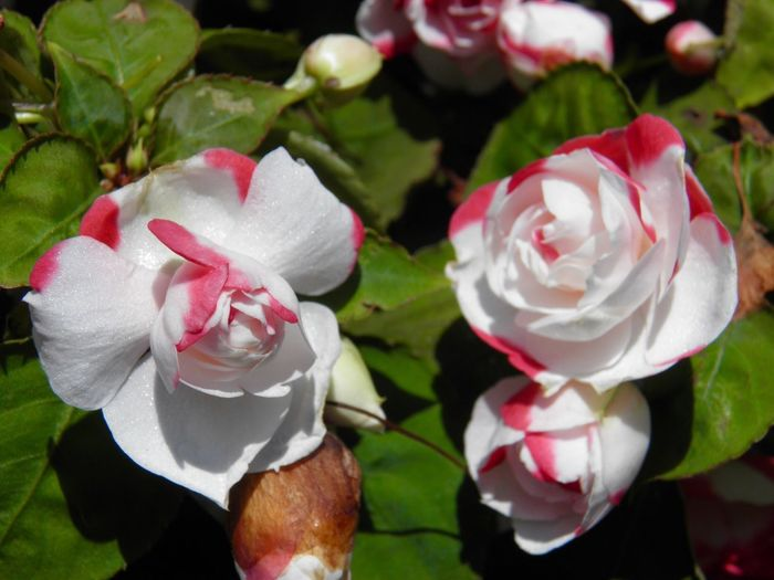 Beauty In Nature Flower Head mini 🌹 roses Red And White Petals green leaves Plant Freshness Close-up