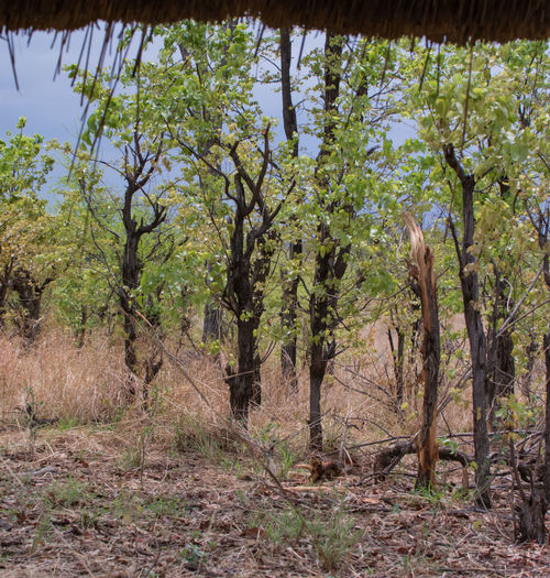 Veldt Hwange National Park in Zimbabwe South Africa Veldt Steppe Landscape South Africa Hawange National Park Veld Sandy Steppe Zimbabwe Steppe Grass And Herb Landscape Highveld Climate Drought Kariba Landscape Nature Bushveld Sunset Scenes Horizon