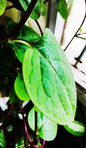 iPhone 6s shots Leaf