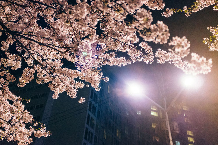 Low angle view of cherry blossom at night