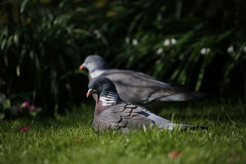 Sometimes I sits and thinks and sometimes I just sits. Love Wood pog. Wood Pigeon Bird Animal Animal Themes Plant Animals In The Wild Vertebrate Animal Wildlife Grass One Animal Land Nature Day Selective Focus Growth Outdoors Green Color No People Beauty In Nature Side View