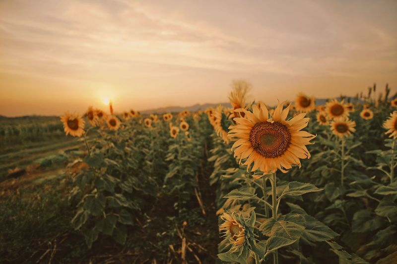 Sunflowers Field Sunflower Plant Growth Beauty In Nature Flower Flowering Plant Sky Freshness Close-up Sunset Petal No People Landscape Field Flower Head Nature Land