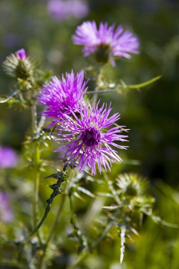 Lilac flowers Thistle Flower Thistle Fragility Violet Flowers Violet Flower Head Flower Blossom Blossoms  Nature Nature_collection Nature Photography Naturelover Flower Flowers First Eyeem Photo Showcase April