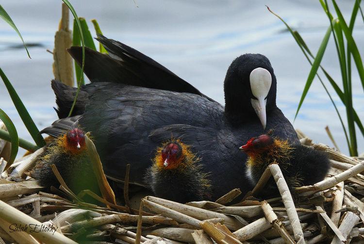 Animal Themes Animal Wildlife Animals In The Wild Beak Bird Bird Nest Black Color Close-up Day Lake Nature No People One Animal Outdoors Perching Sky