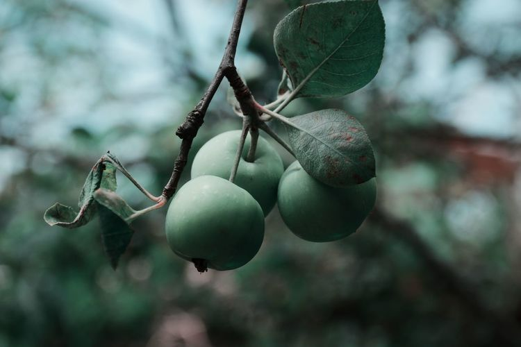 EyeEm Selects Tree Hanging Fruit Branch Close-up Food And Drink