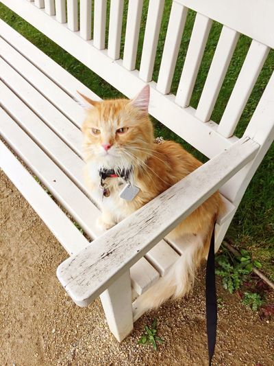 Cat on a white bench The Grand Garden Of Dresden Cat On Leash Traveling With Pets Traveling Cat Adventure Cat Cat Pets Domestic Animals Domestic Mammal Animal Feline Animal Themes One Animal Domestic Cat No People Whisker Looking At Camera