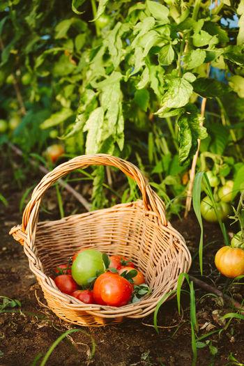 Tomatoes In Basket On Field