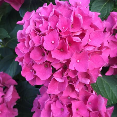 Pink Color Flower Flowering Plant Plant Beauty In Nature Petal Fragility Close-up Leaf No People Flower Head Nature