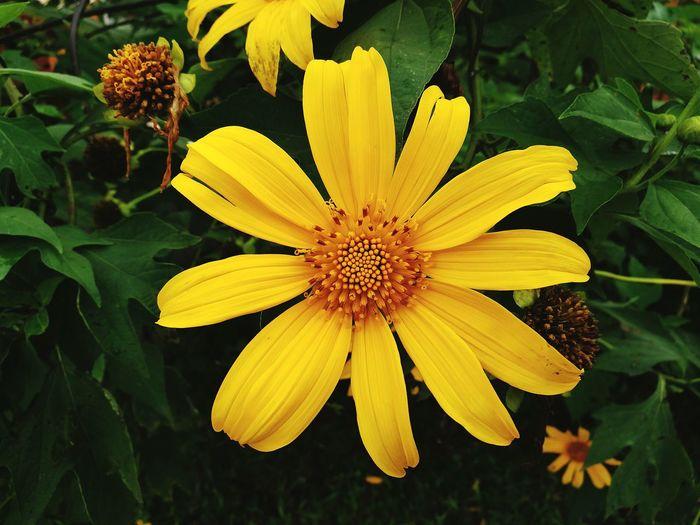 Yellow Flower HuaweiP9 Nature Beauty In Nature EyeEm Nature Lover